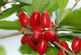 MIRACLE FRUIT Plant Bonsai Synsepalum Dulcificum 2 years old Tropical Ra... - $55.99