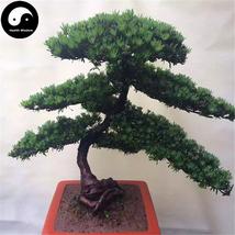 Buy Podocarpus Macrophyllus Tree Seeds 160pcs Plant Que She Luo Han Song - $15.99