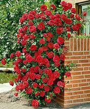 15 Seeds of Deep Red Climbing Rose Rosaceae - $11.74