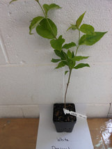 White Flowering Dogwood qt pot (Cornus-florida) image 3