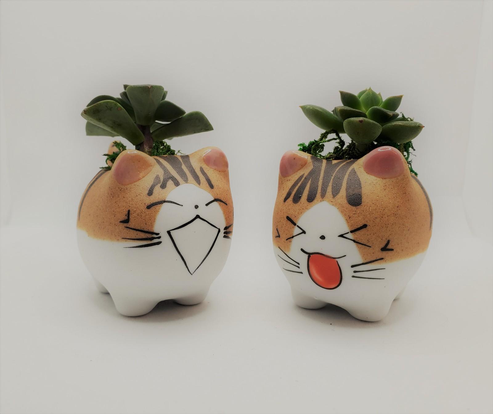 Echeveria laughingcats 1