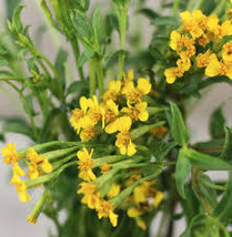 250 mg Seeds - Organic Mexican Tarragon Seeds - Perennial HH01 - $13.99