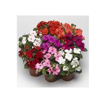 150 Impatiens Seeds Accent Premium Pastel Mix Flower Seeds Garden Outdoor Living - $52.99
