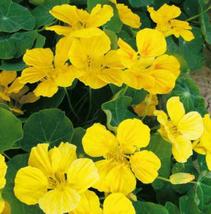 8pcs Very Admirable Yellow Garden Nasturtium Tropaeolun Seed IMA1 - $13.99