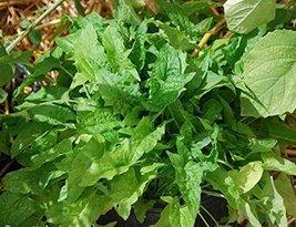 100 Seeds of Chenopodium Capitatum - Strawberry Spinach - $13.85