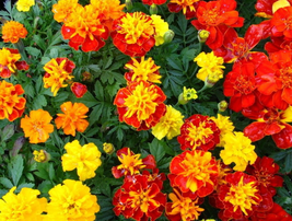 200pcs Very Elegant Mixed Chrysanthemum Seeds Perennial Flowering Rose IMA1 - $13.99