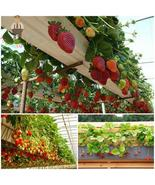 100 Pack Rare Giant Red Strawberry plants Climbing, HZ Delicious Fruits ... - $8.89