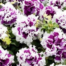 SHIP FROM USA Petunia Pirouette Purple Flower Seeds (Petunia x Hybrida) ... - $38.21