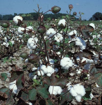 500Seeds Confortable White Cotton Seeds  - $46.00