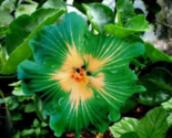 Dinnerplate Hibiscus green pasture 250 seeds - $39.89