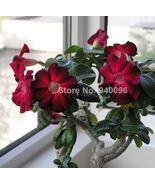5 Pcs Rare Brown Black Desert Rose Bonsai Flowers Adenium obesum Easy To... - $1.98