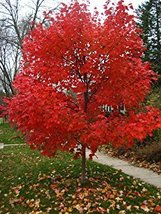 Autumn Blaze Red Maple Tree, 20 Seeds, clearly superior tree seeds - $13.58