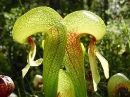 From Us 10 Carnivorous Cobra Lily Darlingtonia Californica Flower Seeds Sbr - $11.99