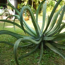 20 Seeds Octopus Agave Succulent Seed Agave Vilmoriniana Seeds - $18.43