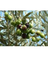 5 seeds Olea Europaea, Canino Olive Tree, Tasty Edible Organic - $5.99