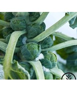 5 Variety Brussels Sprout Long Island Improved Fresh Seeds #TLM1 - $15.99+