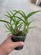 Dendrobium Blue Twinkle Antelope Type Orchid Plant Blooming Size!________ image 4