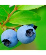 30 Lowbush Blueberry Vaccinium angustifolium Seeds (Edible, Showy, Fall ... - $9.99