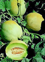 Honey Dew Mellon , Honey Dew Green Sweet, Heirloom, Organic 25+ Seeds,Delicious - $3.96
