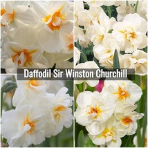 Daffodil Sir Winston Churchill Bulbs - Narcissus Double Daffodil Bulb 12... - $17.00+