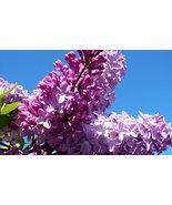 700  Syringa oblata Early Lilac Shrub Tree Seeds Bonsai Exotic Plants Se... - $5.96