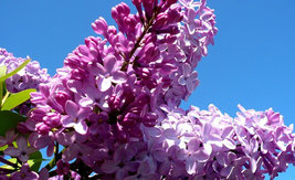 700  Syringa oblata Early Lilac Shrub Tree Seeds Bonsai Exotic Plants Se... - $5.96