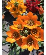 """Live Plant STAR OF BETHLEHEM PLANT 12""""Ornithogalum umbellatum Orange Flo... - $71.00"""