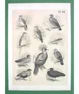 BIRDS Doves Pigeons Bronze Wing - Antique Litho Print - $10.71