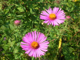 Organic Native Plant, New England Aster, Butterflies! - $3.50