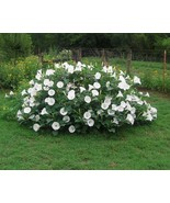 Fragrant Moonflower Bush! 20 Seeds ! THIS WILL SLOW DOWN TRAFFIC! Comb.S/H! - $15.98