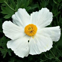75 Fried Egg - Garland Daisy Flower Seeds - $6.59