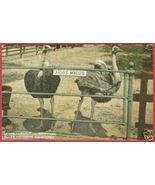 S PASADENA CA Cawston Ostrich Farm Postcard BJs - $7.50
