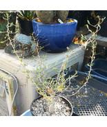Fouquieria (Idria) columnaris Baja Boojum Tree Fat Trunk Succulent Plant... - $31.63