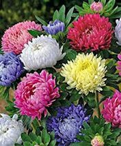 Aster, Giants of California 25+ Seeds, Beautiful Vivid Bright Blooms - $2.99