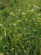 Seeds/Packet 300 Echinochloa Walteri Walter's Barnyard Grass - $14.85