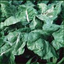 Spinach Seed, America, Heirloom,Organic, Non Gmo, 100 Seeds, Spinach Seeds - $3.99