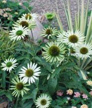 1 Starter Plant Echinacea Purpurea Green Jewel Strain Coneflower Plant - RK - $30.00
