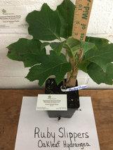 RUBY SLIPPERS Oakleaf  Hydrangea shrub image 3