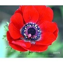 25 Bulb of Anemone coronaria double Governor - $39.59