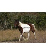 Chincoteague Stallion Maverick Photo - Pick One Image - Various Sizes - $7.50+