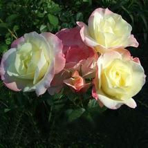 Kathy Wade Hybrid Rose Shrub Bonsai Flowers 50pcs/pack heirloom fragrant flowers - $13.03