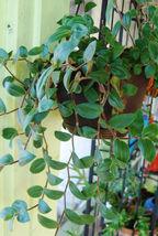 Baby Bunny Bellies Tradescantia Wandering Jew Basket House Plant  - $17.57