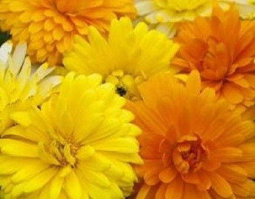 SHIPPED From US,PREMIUM SEED:100 Particles of Calendula Fancy Mix, Hand-Packaged