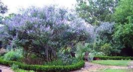 23 Seeds Chaste Tree Seeds, Organic, Vitex Agnus-Castus, Chasteberry, Medicinal  - $13.86
