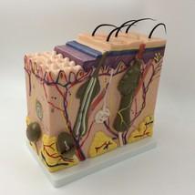 New Human Skin Block Model 70X enlagared Anatomical Anatomy Model Medica... - $46.74