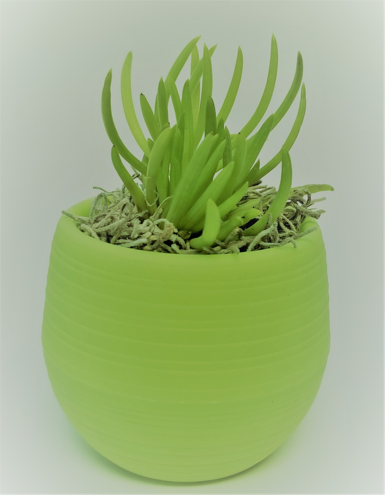 "Primary image for Senecio Succulent in Green Self-Watering Pot, Live Plant Barberton 3"" Planter"