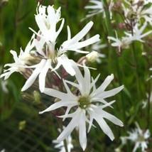 Lychnis flos cuculi alba or White Robin 10 seeds - $8.13