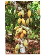 Cocoa Seeds Cacao Seeds Theobroma free shipping sri lanka - $5.25