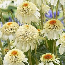 Echinacea Milky White Perennial Flower Seeds Home and Garden - $16.57