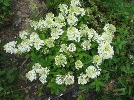 STARTER PLANT - HIBISCUS MOSCHEUTOS 'CAROUSEL JOLLY HEART' - Gardening - $35.99